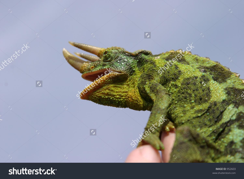 Male Jackson Chameleon Chamaeleo Jacksonii Xantholophus Stock.