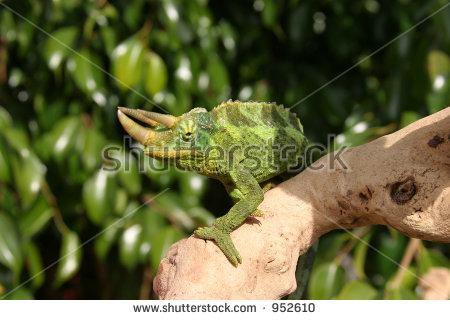 Jackson Chameleon Stock Photos, Royalty.