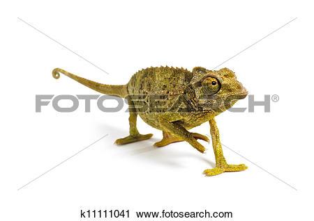 Stock Photography of Jackson's Chameleon.