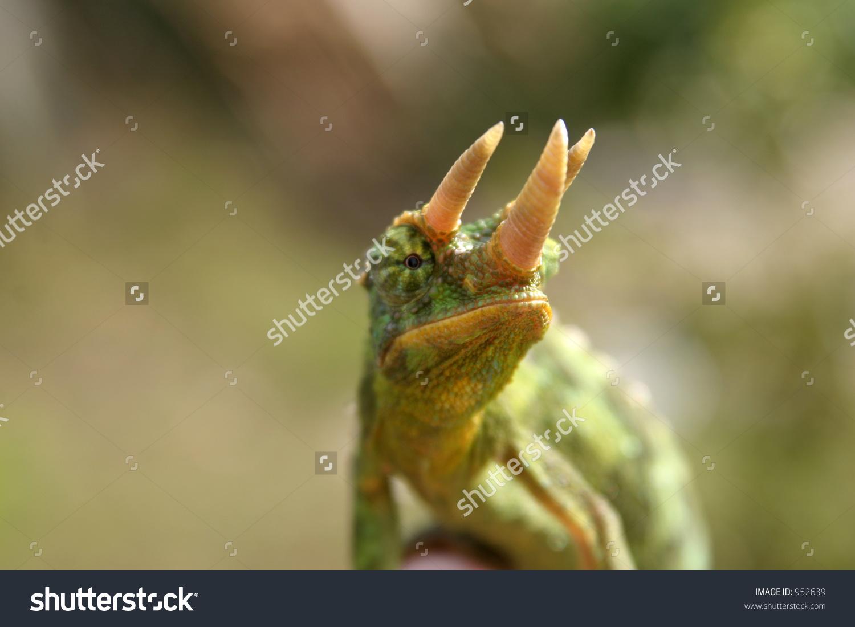 """Male """"Jackson Chameleon"""" (Chamaeleo Jacksonii Xantholophus) Shows."""