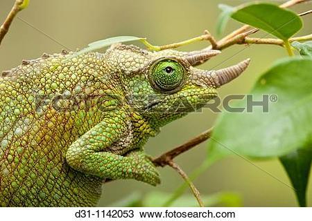 Stock Photo of Jackson's chameleon, Chamaeleo jacksonii, female.