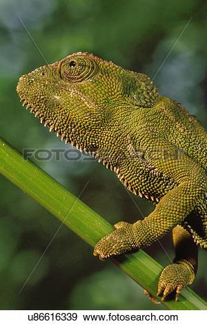 Stock Photograph of Jackson's chameleon, Chamaeleo jacksonii.