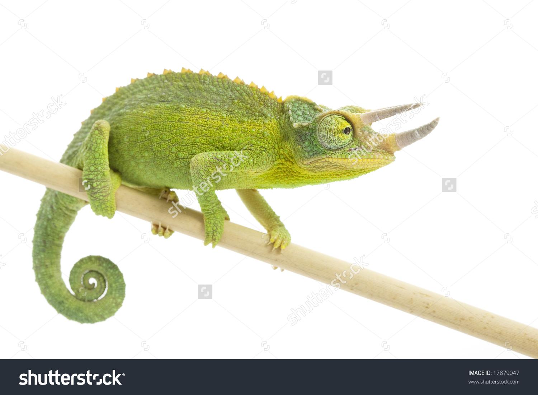 Male Chameleon Chamaeleo Jacksonii On White Stock Photo 17879047.
