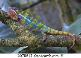 Chamaeleonidae Stock Photos and Images. 774 chamaeleonidae.