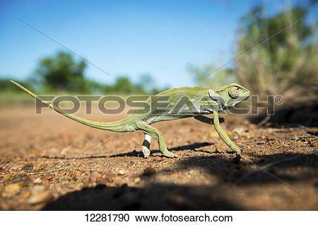 Stock Photography of Chameleon (Chamaeleonidae), Kruger National.