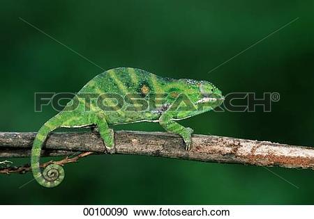 Stock Photography of Chamaeleonidae, Juniors, animal, animals.