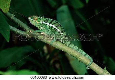 Stock Photo of Chamaeleo, Chamaeleonidae, Juniors, animal, animals.