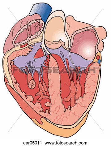 Clip Art of Development of fetal heart showing chambers car11002.