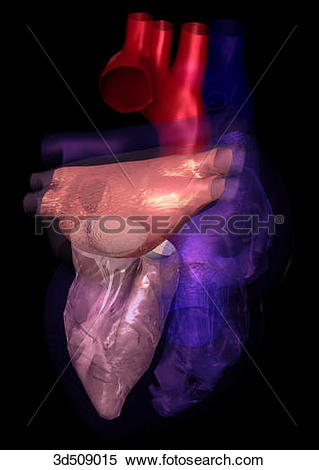 Stock Illustration of Posterior view of a transparent heart.