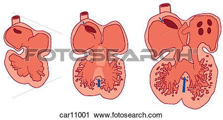 Clipart of Development of fetal heart showing chambers car11001.