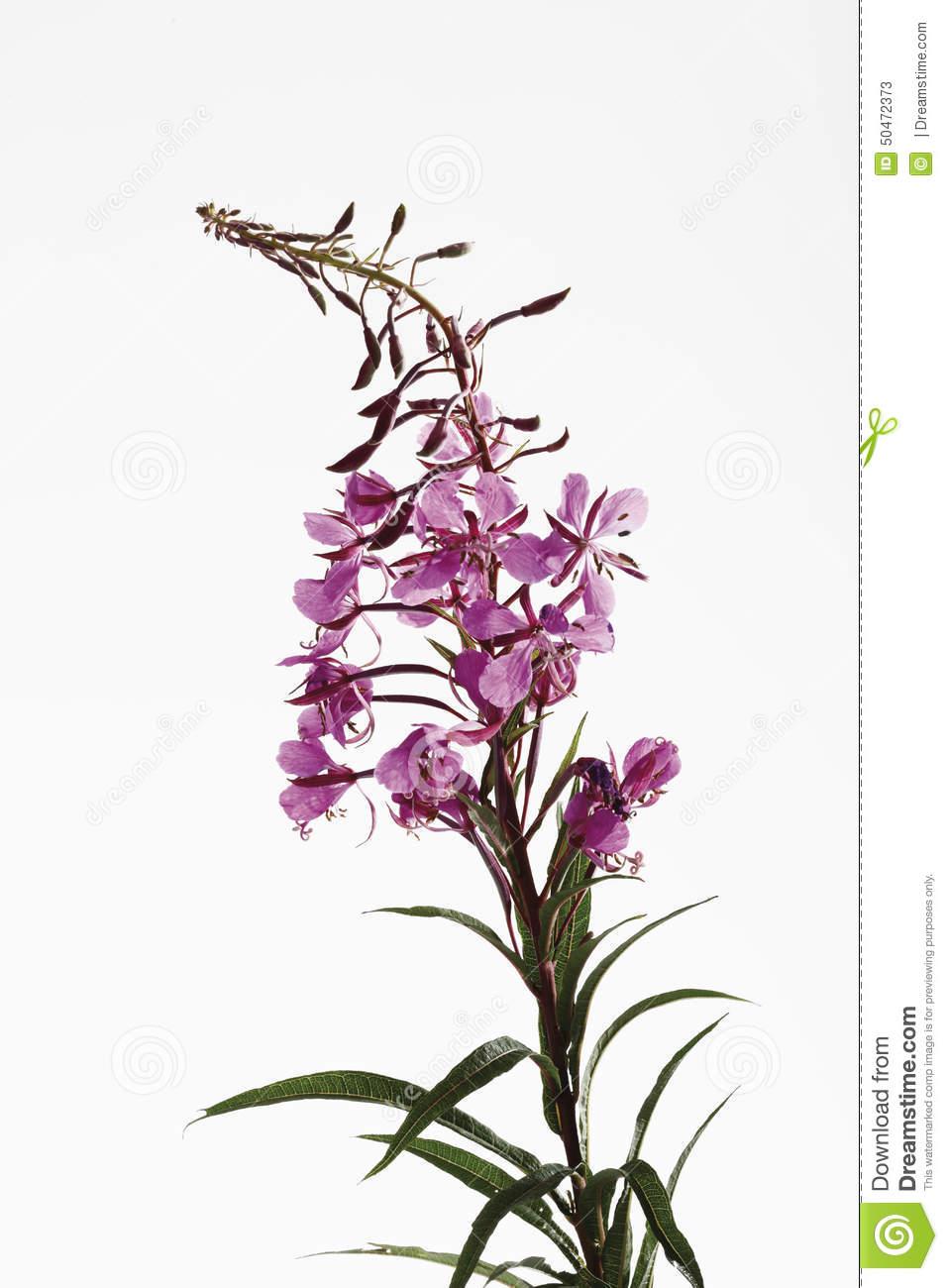 Fireweed Blossom (Chamerion Angustifolium) Stock Photo.