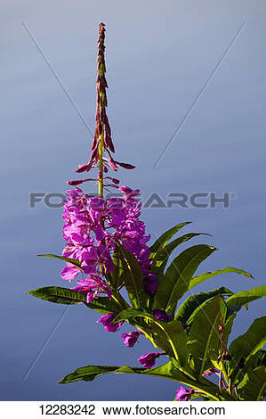 Stock Photo of Close up of a Fireweed blossom (Chamerion.