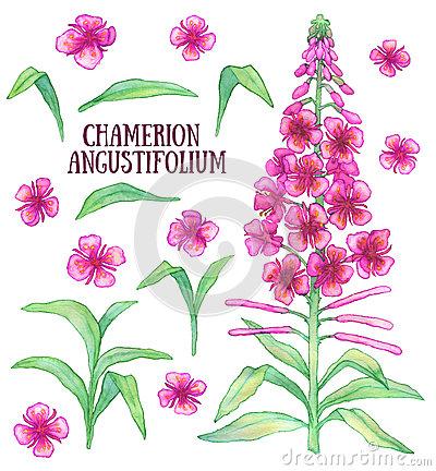 Chamerion Angustifolium Stock Illustrations.