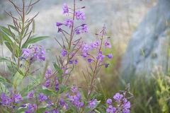 Rosebay Willow Herb Fireweed Chamerion Angustifolium Royalty Free.