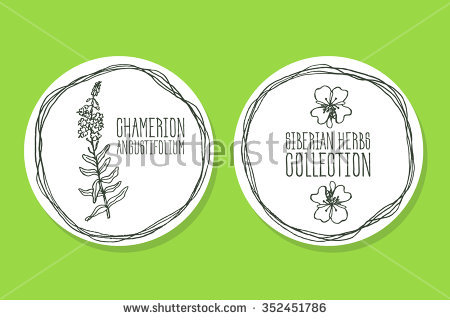 Chamerion Angustifolium Stock Photos, Royalty.