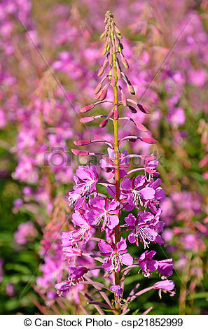 Stock Photographs of Pink flowers Chamerion angustifolium.