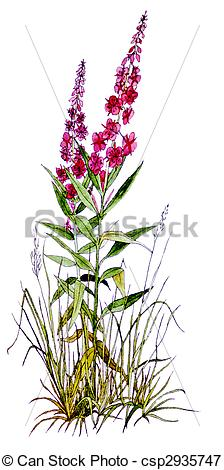 Stock Illustrations of Fireweed.