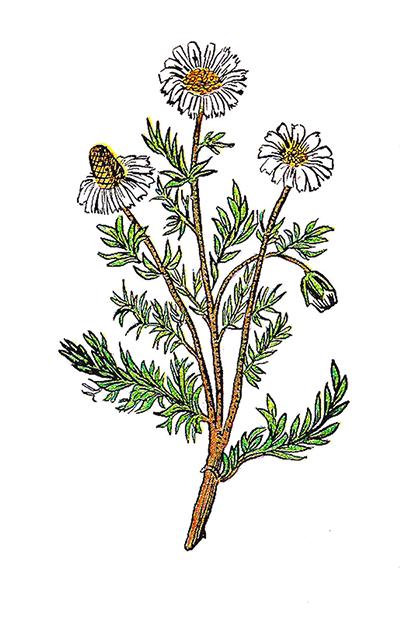 Chamomile Flower Clip Art.