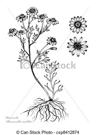 Drawing of Chamomile (Matricaria recutita) csp8412874.