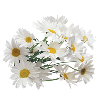 Download Chamomile Free PNG photo images and clipart.