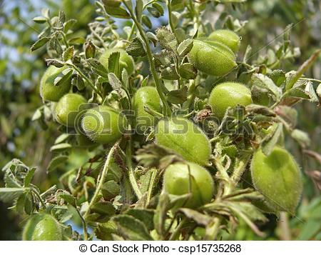 Stock Image of Cicer Arietinum Gram or channa. csp15735268.