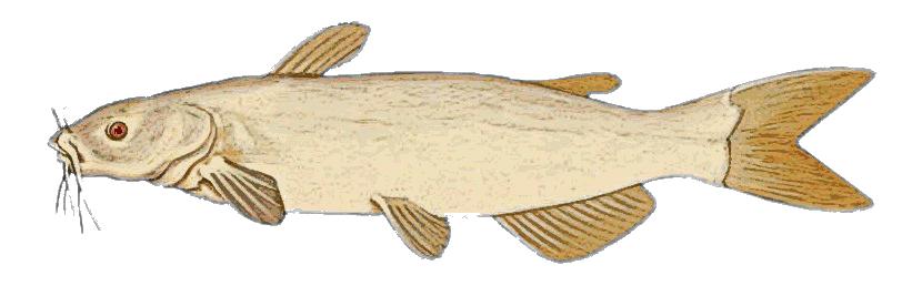 Catfish Clipart & Catfish Clip Art Images.