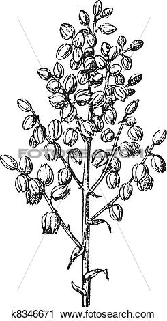 Clipart of Chaparral yucca or common yucca vintage engraving.