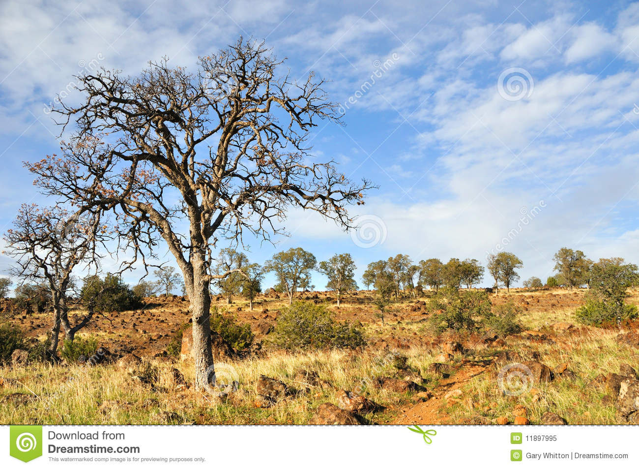 Lone Oak In California Chaparral Country Royalty Free Stock Photo.