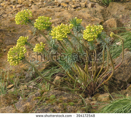 Mediterranean Spurge Stock Photos, Royalty.