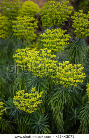 Euphorbia Stock Photos, Royalty.