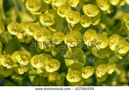 Euphorbia Cactus Tenerife On Yellow Background Stock Photo.