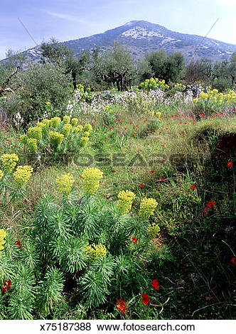Pictures of mediterranean sporge euphorbia characias and peacock.