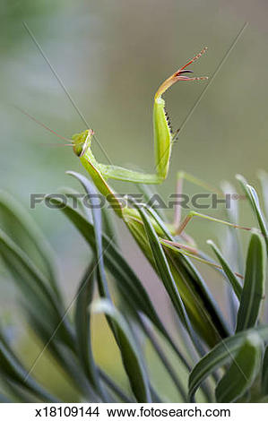 Stock Photo of Praying mantis on Euphorbia characias x18109144.