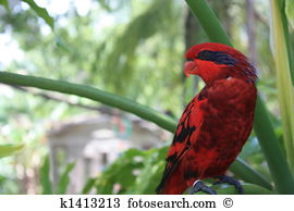 Red lories Stock Photos and Images. 26 red lories pictures and.
