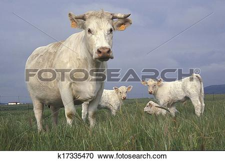 Stock Photography of Charolais cattle k17335470.