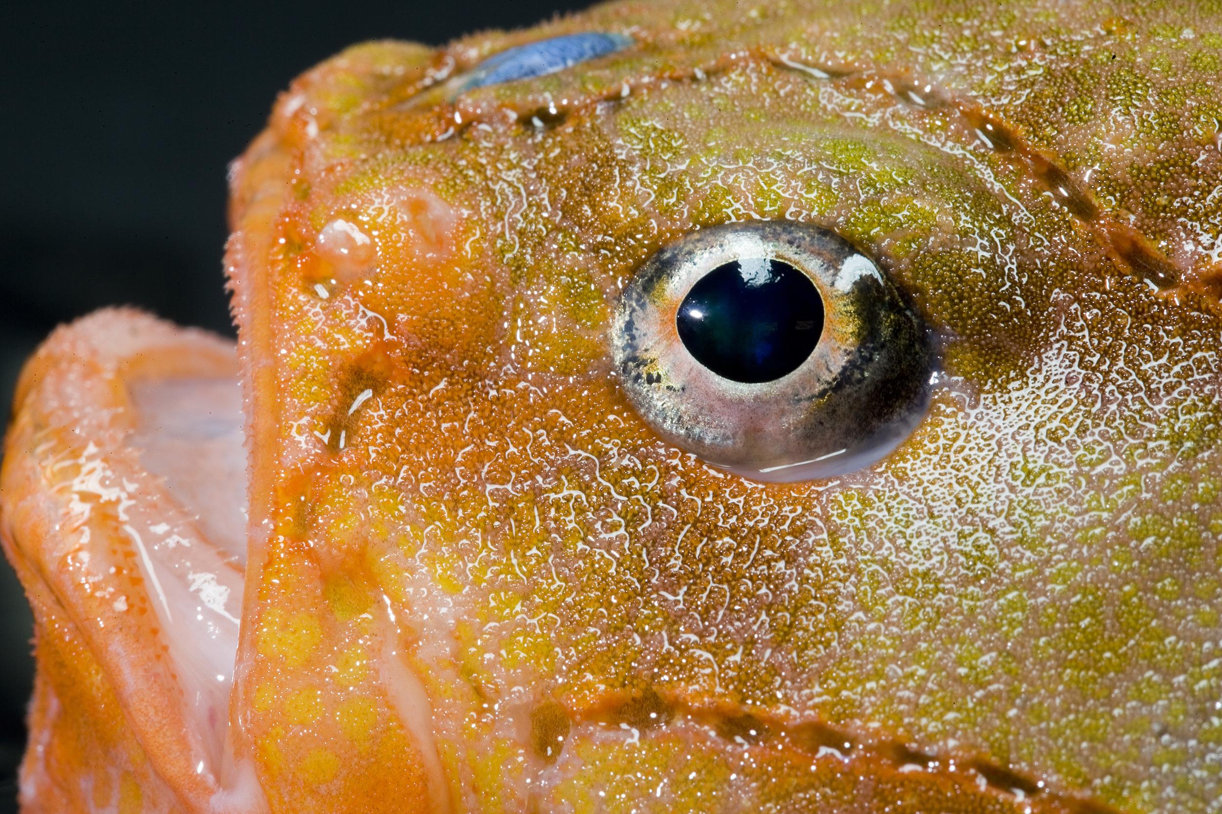 File:Chaunax stigmaeus eye.jpg.