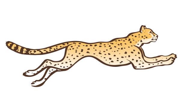 Best Cheetah Running Illustrations, Royalty.