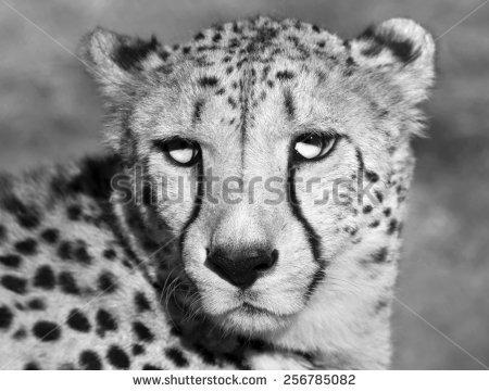 Cheetah Face Stock Images, Royalty.