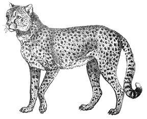 Clipart cheetah contour.