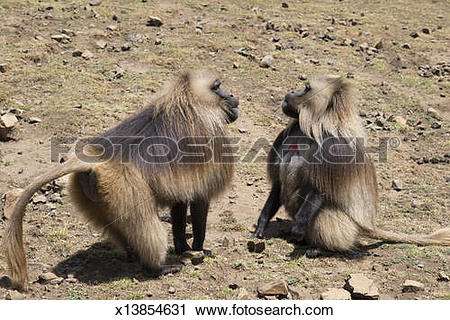 Stock Photography of Chelada monkeys. Simien mountains. Ethiopia.