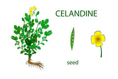 Celandine Chelidonium Stock Illustrations.