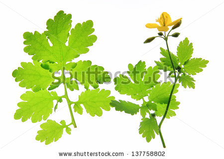 Chelidonium Majus Stock Photos, Royalty.