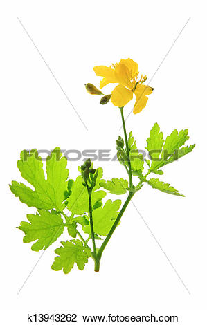 Stock Photo of Greater Celandine Chelidonium majus k13943262.