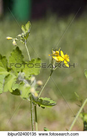 "Stock Image of ""Greater Celandine or Tetterwort (Chelidonium majus."