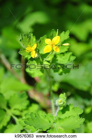 Stock Photo of Greater celandine (Chelidonium majus) k9576363.