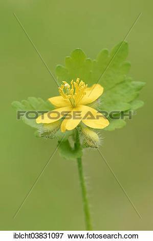"Picture of ""Greater celandine (Chelidonium majus), flower."