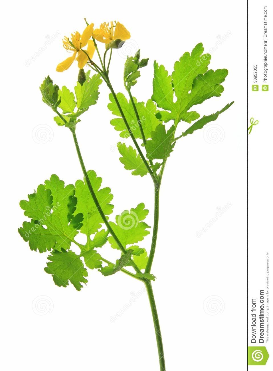 Greater Celandine (Chelidonium Majus) Royalty Free Stock Photo.