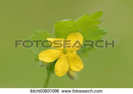 "Stock Images of ""Greater celandine (Chelidonium majus), flower."