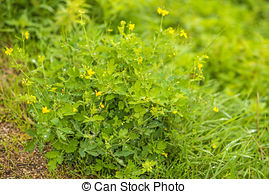 Picture of Greater Celandine Wild Flowers.