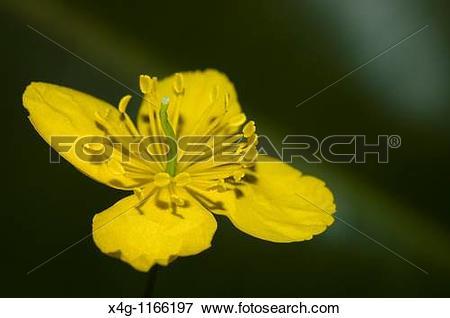 Picture of Celandine or greater celandine Chelidonium majus x4g.